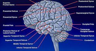 تفائت مغز زن و مرد