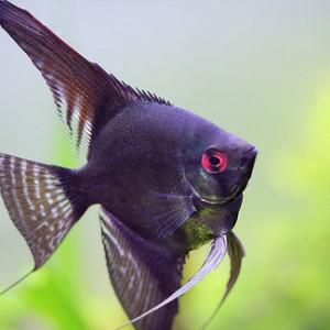 نتیجه تصویری برای ماهی آنجل