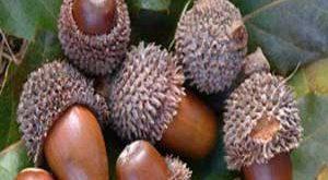 عکسهایی از میوه های بلوط