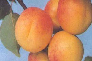 Apricot Puree 310x205 - خواص و مضرات زرد آلو
