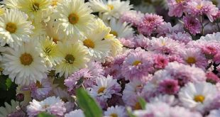 خواص گل داوودی چیست