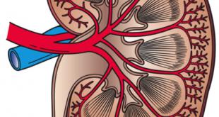 449px Kidney Cross Section 310x165 - دلیل نارسایی حاد کلیه