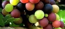 خواص روغن دانه انگور